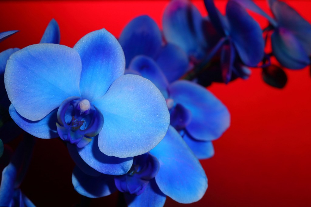 blu_orchid_01