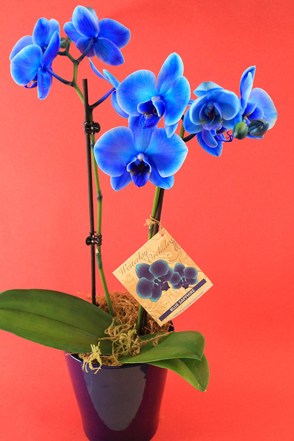 blu_orchid_02