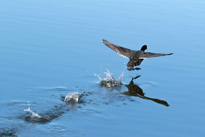 coot_wars_02
