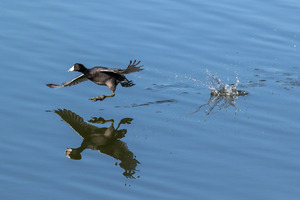 coot_wars_03