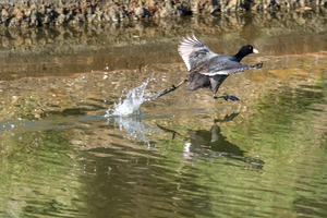 coot_wars_04