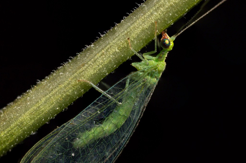 lacewing_stack